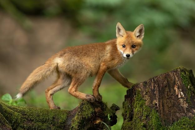 Giovane volpe rossa che cammina sul tronco d'albero nella natura di primavera