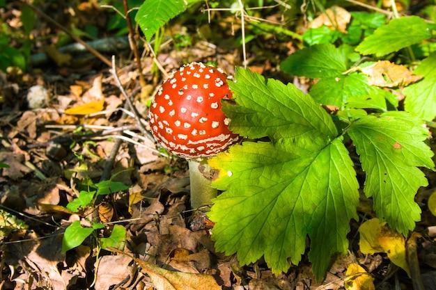Giovane amanita crescente rossa del fungo sotto una foglia verde in una foresta di autunno alla luce del sole. agarico di mosca.