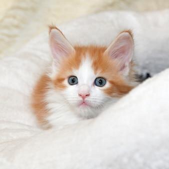 Giovane gattino maine coon dai capelli rossi