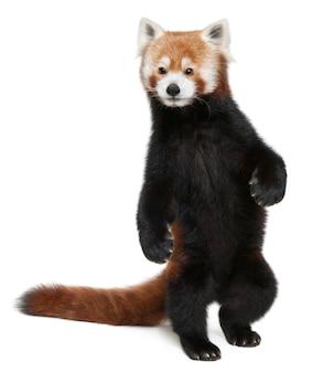 Giovane panda minore o gatto brillante, ailurus fulgens su bianco isolato