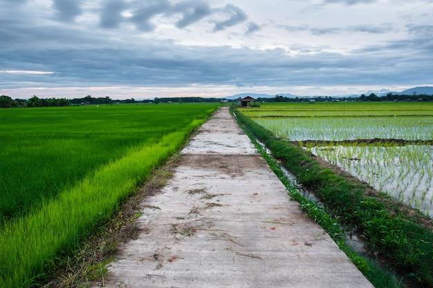 Riso giovane e percorso nei campi. campo di riso con percorso. percorso in mezzo alle risaie.