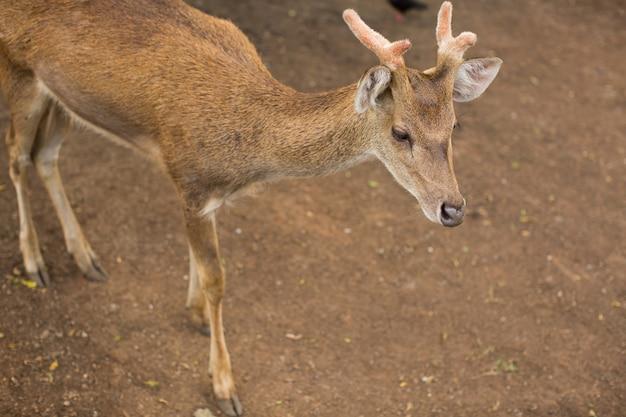 Giovani caprioli buck / capreolus capreolus / in piedi sul prato e guardare