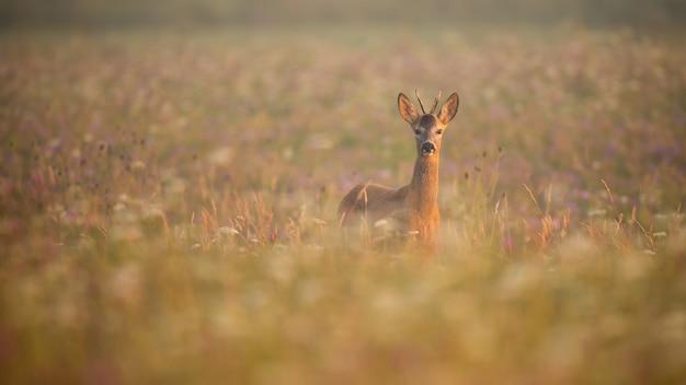 Giovani caprioli buck in piedi nella nebbia mattutina su un prato in estate all'alba Foto Premium