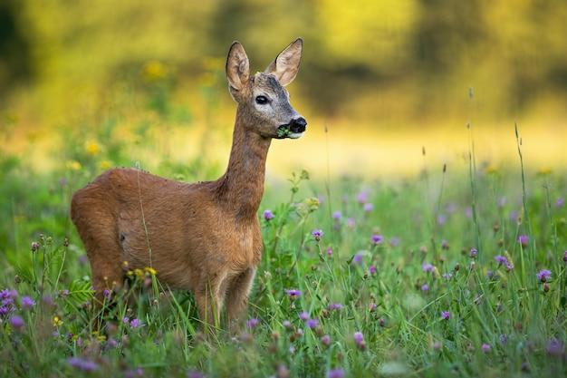 Giovani caprioli buck con piccole corna al pascolo su un prato verde in estate