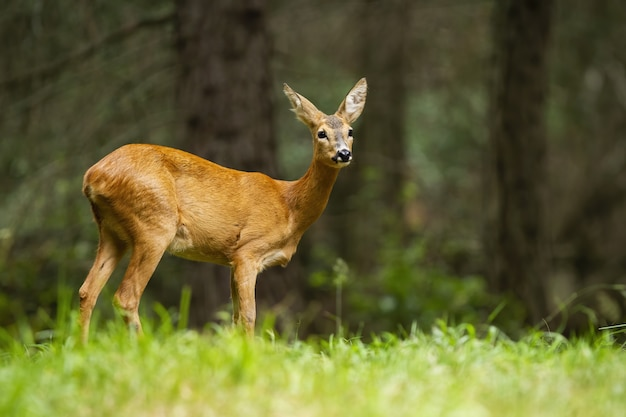 Femmina giovane dei caprioli che sta nella foresta di estate.