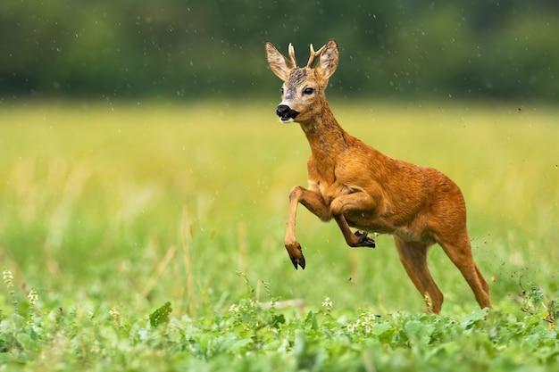 Giovani caprioli che attraversano le gocce di pioggia di estate