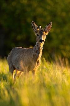 Giovane capriolo con corna in crescita in piedi sul campo in presenza di luce solare