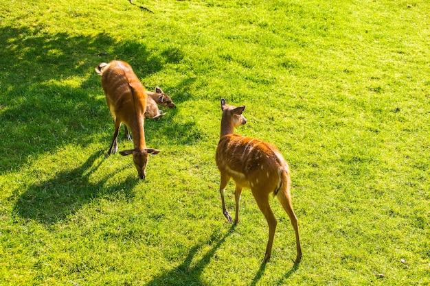 Giovani caprioli sul prato, vista dall'alto. zoo, animali selvatici e concetto di mammifero