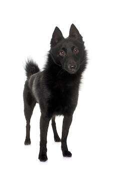 Giovane cane schipperke davanti a uno sfondo bianco