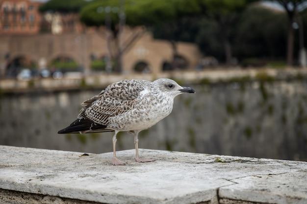 Giovane gabbiano si siede sul parapetto di un ponte sul tevere roma italia rome