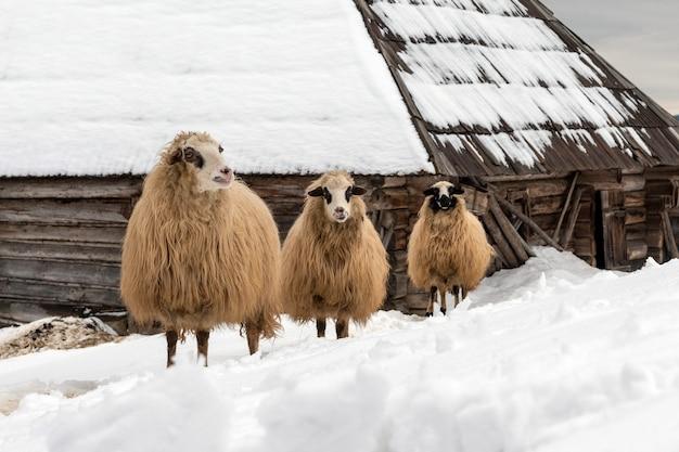 Giovani pecore in montagna, in inverno