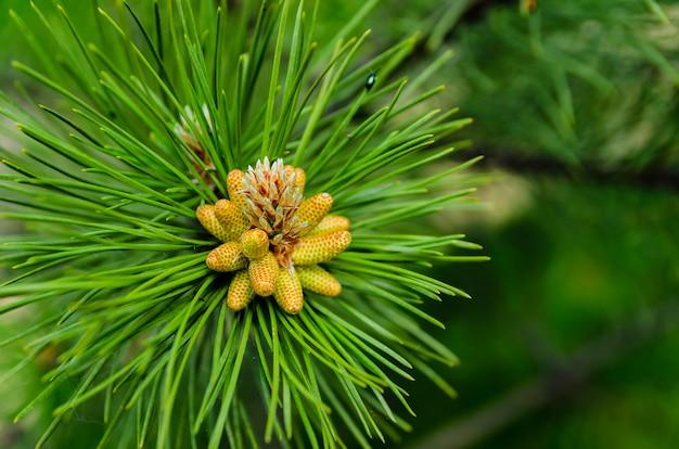 Tiro giovane sul ramo di pino verde lussureggiante. rinnovo primaverile degli alberi, formazione di nuovi coni sul pino.