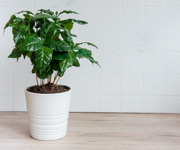 Giovani germogli di una pianta del caffè piantata in una pentola sul tavolo