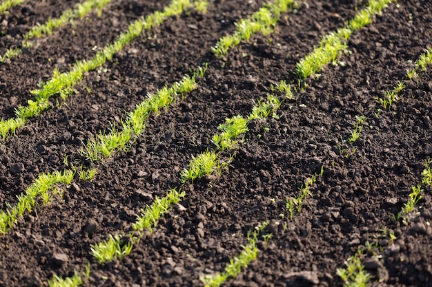 Giovani germogli di aneto e prezzemolo su terreno arato, concetto di agricoltura