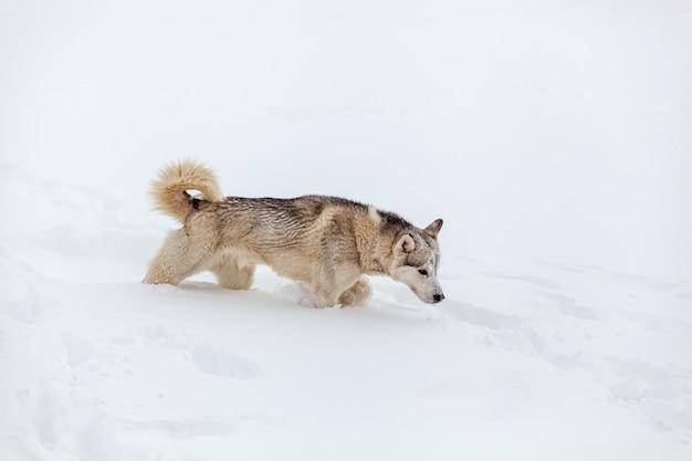 Il giovane cane husky siberiano corre e si diverte nella neve profonda dopo ah