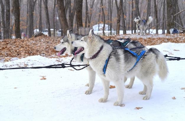 Giovani cani husky siberiani che si preparano per lo slittino