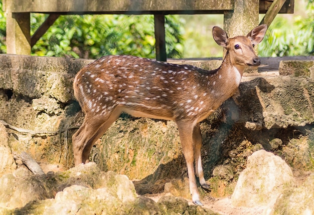 Giovane cervo sika