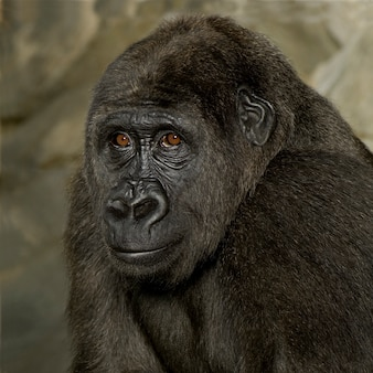 Gorilla d'argento giovane su bianco