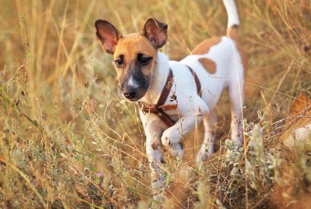 Giovane cane liscio di fox terrier nel campo, per spiare il territorio