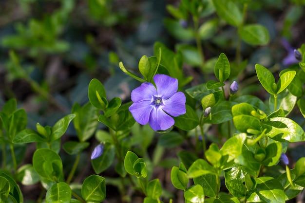 Giovane fiore di primavera pianta della vinca con foglie verdi e fiori blu