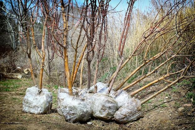 Giovani piantine di alberi primaverili con radici avvolte da un telo di plastica e predisposte per la vendita e lavori di giardinaggio.
