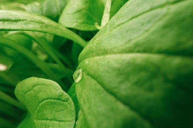 Giovani germogli di piante microgreen close up, macro