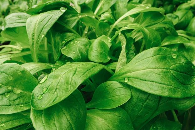 I giovani germogli della pianta microgreen si chiudono