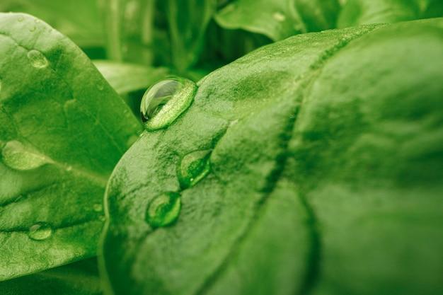 Giovani germogli di piante microgreen