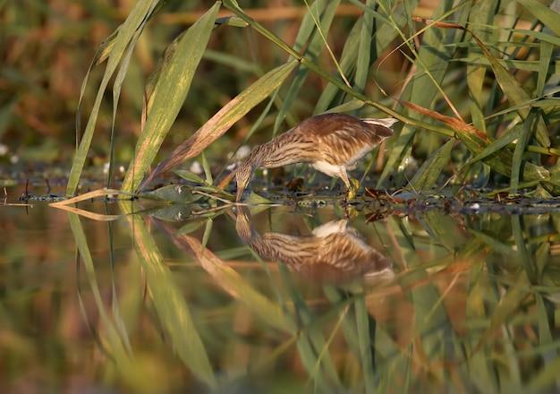 Giovane sgarza ciuffetto (ardeola ralloides) girato in morbida luce del mattino close-up su una caccia di pesce