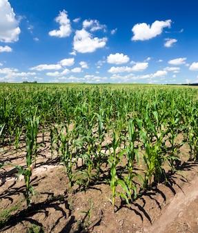 Giovani steli di mais all'inizio della primavera, paesaggio