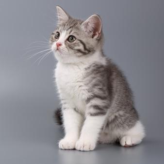 Giovane il gatto scozzese a strisce sulla superficie grigia.