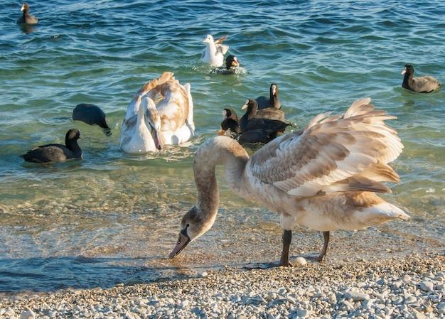 Giovani cigni e anatre sulla spiaggia