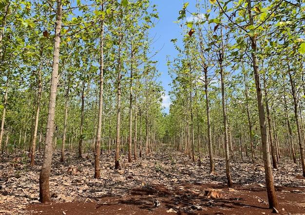 Giovane piantagione di foresta di teak a gunung kidul, yogyakarta, indonesia