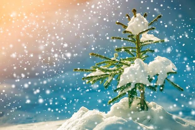 Giovane albero di abete rosso tenero con aghi verdi ricoperti di neve profonda e brina e grandi fiocchi di neve su sfondo sfocato blu colorato copia spazio. cartolina d'auguri di buon natale e felice anno nuovo.
