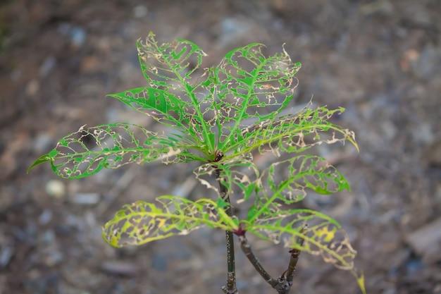 Il giovane albero nella foresta è stato mangiato o morso dai parassiti fogliari e dai vermi che facevano molti buchi