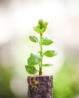 La giovane piantina dell'albero cresce dal ceppo, dalla nuova vita e dal concetto di rinascita