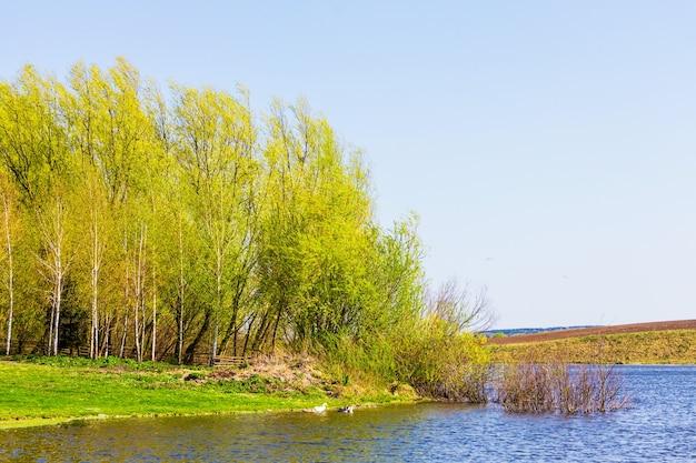 Giovani alberi con delicate foglie verdi sul bordo del fiume in una soleggiata giornata primaverile
