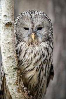 Il giovane gufo degli urali si siede su un albero e guarda la telecamera