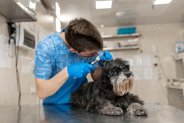 Il giovane tecnico veterinario controlla le orecchie del suo paziente