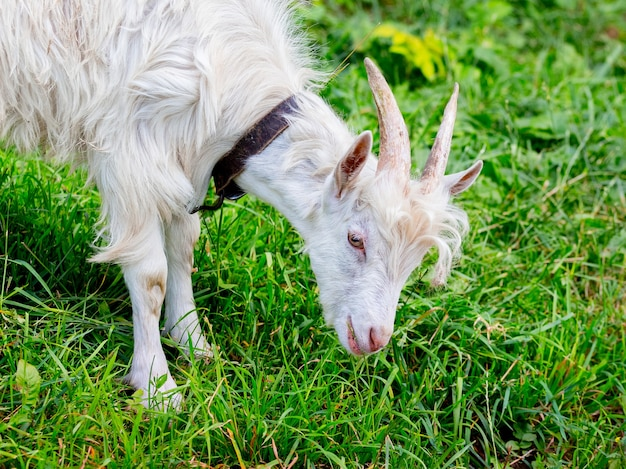 Una giovane capra bianca pascola sull'erba