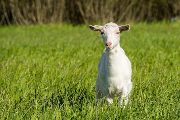 Giovane capra bianca in un prato di erba verde in estate