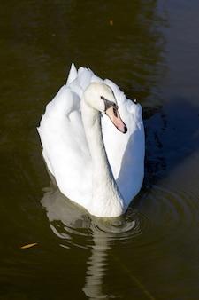 Un giovane cigno bianco che galleggia sul lago per pezzi di pane.