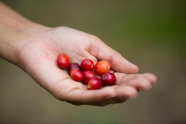 Giovane donna che raccoglie chicchi di caffè in colombia