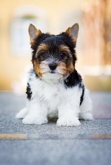 Portret di cane cucciolo giovane yorkshire terrier