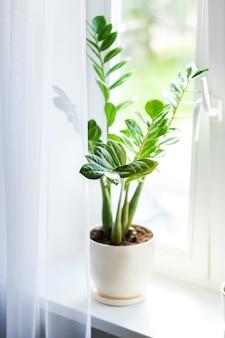 Zamioculcas pianta domestica sul davanzale della finestra