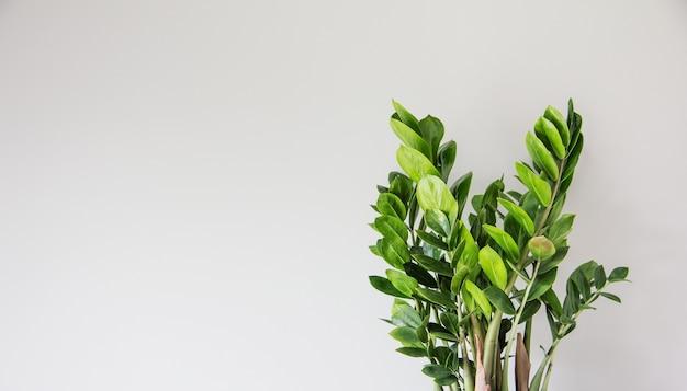 Zamioculcas zamiifolia pianta su uno sfondo chiaro close-up foglie grandi piante d'appartamento moderne verdi concetto minimalista di decorazioni per la casa creative