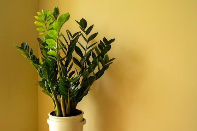 Zamioculcas zamiifolia zamioculcas fiore in vaso pianta domestica naturale