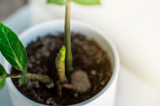 Zamiokulkas germogliano in un vaso piante domestiche di nuova vita