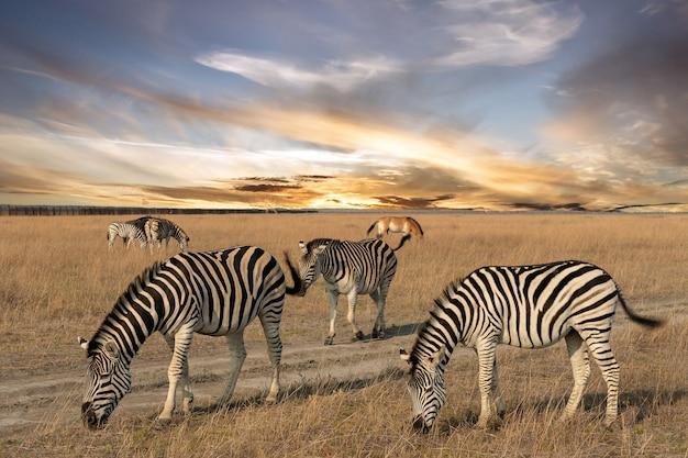 Zebra animale africano in piedi sul pascolo della steppa, paesaggio safari autunnale.