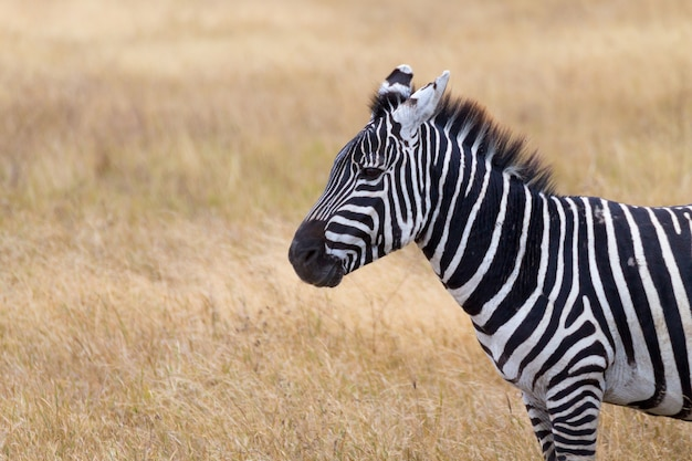 Zebra da vicino. cratere dell'area di conservazione di ngorongoro, tanzania. fauna africana